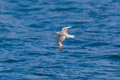 Arktische Eissturmvogel Fulmarus Nordglacialis, die über blaues Meer fliegen Stockfotos