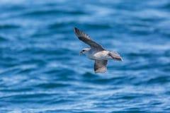 Arktische Eissturmvogel Fulmarus Nordglacialis im Flug, blaues Meer Lizenzfreies Stockfoto