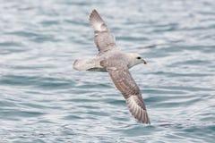 Arktische Nordglacialis Fulmarus Eissturmvogel des Porträts, die vorbei fliegen Stockfotografie