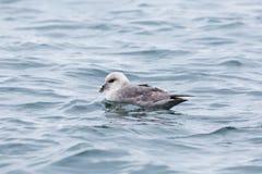 Arktische schwimmende Eissturmvogel Fulmarus Nordglacialis Stockfoto