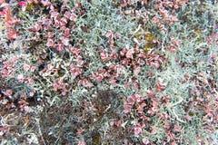 Arktische Vegetation stockfoto