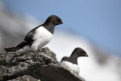 Arktische Vögel (kleiner Auk) Lizenzfreie Stockfotografie