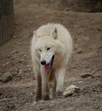 Arktische Wölfe Stockbild