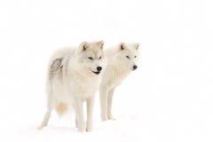 Arktische Wölfe lizenzfreie stockfotografie