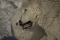 Arktische Wölfe Stockfoto