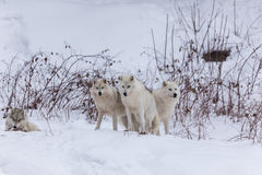 Arktische Wölfe im Winter Stockbilder