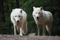 Arktische Wolf Canis-Lupus arctos, zwei schlingt hinunter, passt zusammen, grünt Hintergrund stockfoto