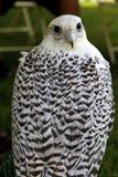 Arktischer Falke Stockfotos
