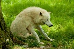 Arktischer Fox Lizenzfreies Stockbild
