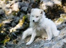 Arktischer Fox Lizenzfreie Stockfotografie
