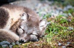 Arktischer Fox Lizenzfreie Stockbilder