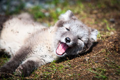 Arktischer Fox Lizenzfreie Stockfotos