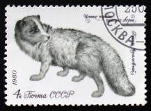 Arktischer Fox - Alopex Lagopus oder Vulpes Lagopus, circa 1980 Lizenzfreie Stockbilder