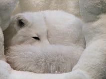 Arktischer Fox gekräuselt oben in seiner Snowy-Höhle stockfoto