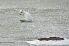 Arktischer Fox im Winter-Mantel, auf Warnung Lizenzfreie Stockfotos