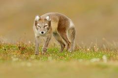Arktischer Fox, Vulpes Lagopus, nettes Tierporträt im Naturlebensraum, Graswiese mit Blumen, Island Polarer Fuchs im natur Stockbild