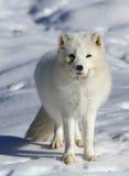 Arktischer Fuchs Stockbild