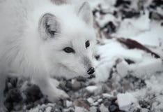 Arktischer Fuchs Stockfotos