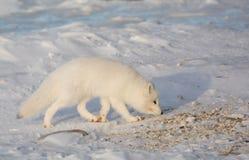 Arktischer Fuchs im Schnee Stockbilder
