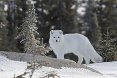 Arktischer Fuchs im weißen Wintermantel mit kleinem Baum im Vordergrund Lizenzfreie Stockfotos