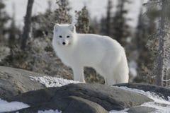 Arktischer Fuchs im weißen Wintermantel weg anstarrend, bei der Stellung auf einem großen Felsen mit Bäumen im Hintergrund, Stockbilder