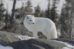 Arktischer Fuchs im weißen Wintermantel weg anstarrend, bei der Stellung auf einem großen Felsen mit Bäumen im Hintergrund, Stockbild