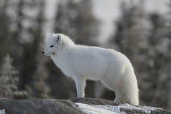 Arktischer Fuchs im weißen Wintermantel weg anstarrend, bei der Stellung auf einem großen Felsen mit Bäumen im Hintergrund, Stockfotos