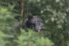 Arktischer Fuchs mit Sommer und Winter beschichten, Porträt oder mit Grashintergrund Lizenzfreies Stockbild