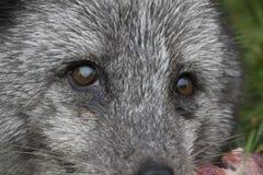 Arktischer Fuchs mit Sommer und Winter beschichten, Porträt oder mit Grashintergrund Lizenzfreie Stockfotografie