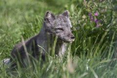 Arktischer Fuchs mit Sommer und Winter beschichten, Porträt oder mit Grashintergrund Stockbild