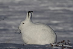 Arktischer Hase mit Weide bessert in seinem Mund aus Lizenzfreies Stockfoto