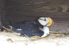Arktischer Papageientaucher auf Nest lizenzfreie stockbilder