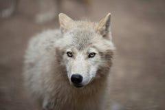 Arktischer Wolf Lizenzfreie Stockfotos
