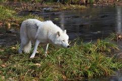 Arktischer Wolf Stockfotos