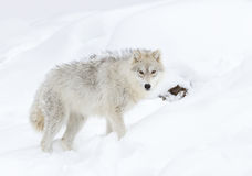 Arktischer Wolf lizenzfreie stockbilder