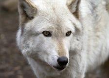 Arktischer Wolf auf dem Ausblick Stockfotografie