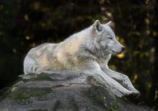 Arktischer Wolf auf dem Felsen Lizenzfreies Stockfoto
