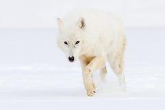 Arktischer Wolf auf Jagd stockfotografie