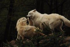 Arktischer Wolf (Canis Lupus arctos) lizenzfreie stockfotos