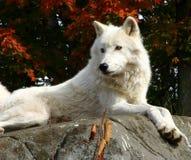 Arktischer Wolf, der auf einen Felsen legt Stockfoto