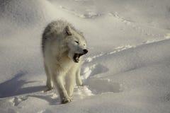 Arktischer Wolf, der auf Schnee knurrt Lizenzfreie Stockfotos