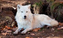 Arktischer Wolf, der die Kamera betrachtet Stockfotografie