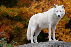 Arktischer Wolf, der die Kamera an einem Fall-Tag betrachtet Stockfotografie