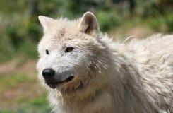 Arktischer Wolf in der Natur Lizenzfreies Stockfoto