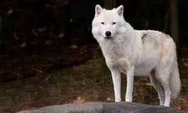 Arktischer Wolf, der uns betrachtet Stockbild