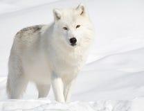 Arktischer Wolf im Schnee, der Kamera betrachtet Stockfotos