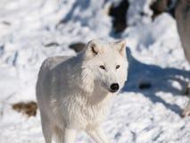 Arktischer Wolf im Winter Lizenzfreie Stockfotografie