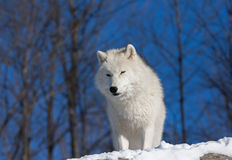 Arktischer Wolf im Winter stockfotografie