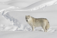 Arktischer Wolf Walking In The Snow Stockbilder