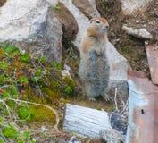 Arktisches Grundeichhörnchen Lizenzfreie Stockfotografie